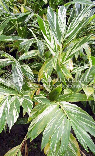 Tropical Shrubs - Merry Horticulture International